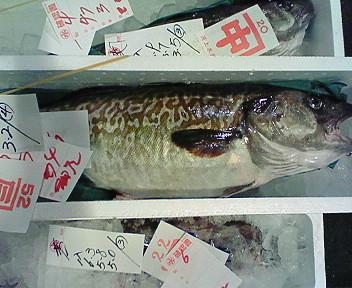 函館産・雄真鱈