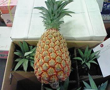 沖縄西表島・パイナップル