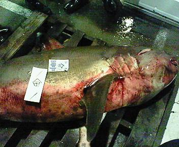 小樽産・サメ