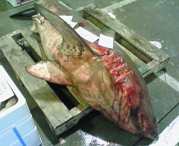 小樽産サメ
