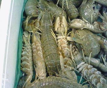 厚田産生蝦蛄