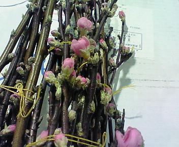 茨城産桃の花