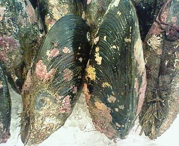 浜益産ひる貝