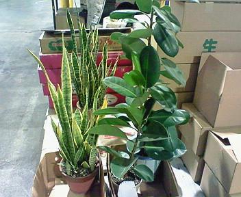 観葉植物・ゴムの木、サンスベリ