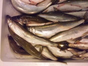 根室産キュウリ魚