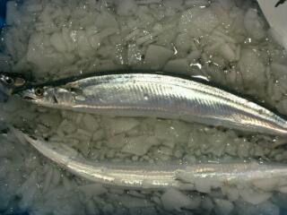 根室産秋刀魚・さんま